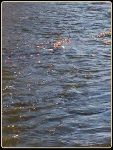 Spring Equinox Puja - 2017 Flowers floating on the Fox River image